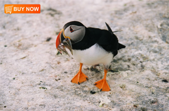 Atlantic Puffin with Herring 231