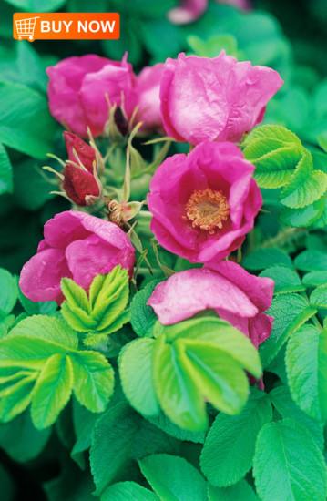 Beach-Roses