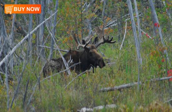 Bull Moose in Swamp