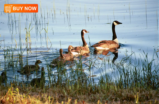 Canadian Geese and Chicks