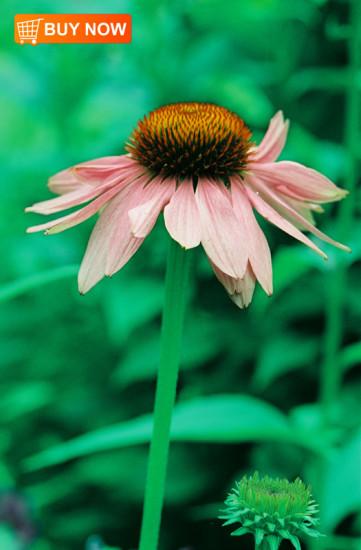 Coneflower-Pink