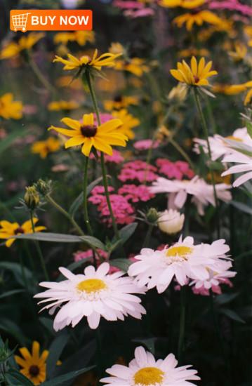 Daisies-&-Black-eyed-Susans
