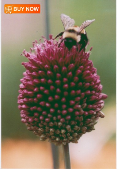 Drumstick-Chive-with-Bee