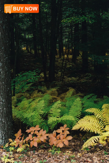 Ferns into Woods