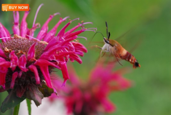 Hummingbird Moth and Bee Balm