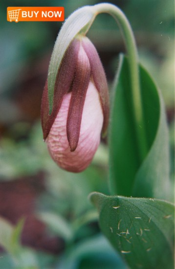 Lady-Slipper-Bud