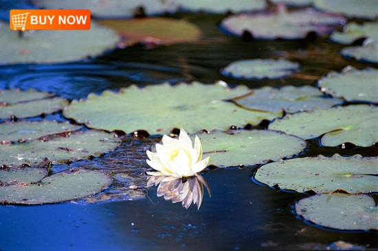 Lily Pads wth Flower