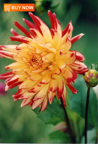 Red-and-Yellow-Dahlia
