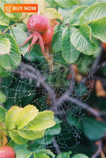 Spiderweb in Rose Bush