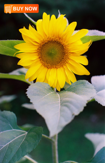 Sunflower-48