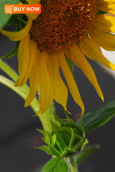 Sunflower-with-Bud