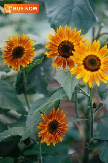 Sunflowers-154