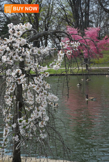 Tree-Blossoms-and-Canadian-Geese