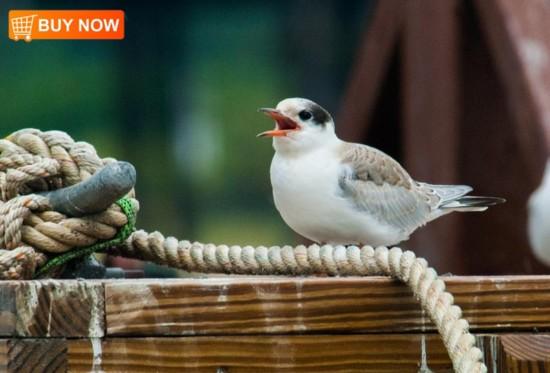 Baby Tern 441
