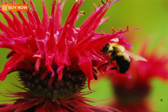 Bee Balm and Bee 408