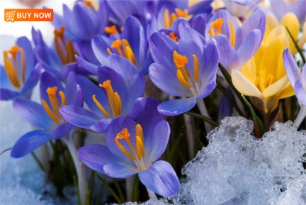 Crocus in Snow 416