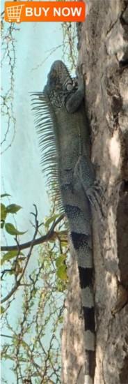 Iguana 437