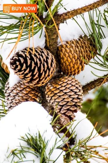 Pine Cones 442