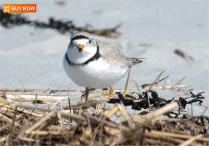 Piping Plover 413
