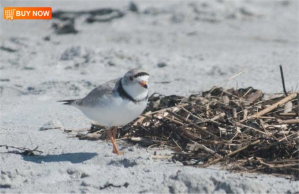 Piping Plover 414
