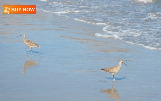 Sandpipers in Surf