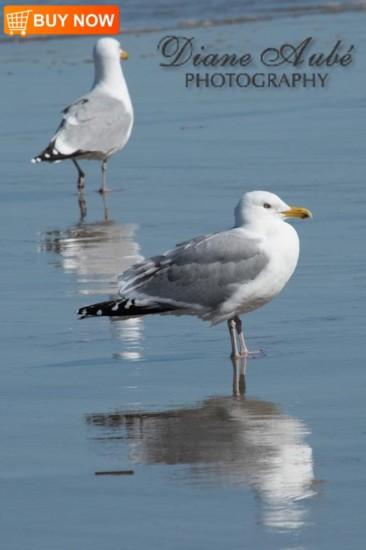 Seagulls 443
