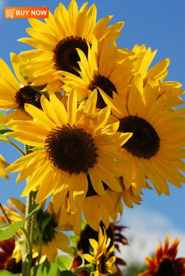 Sunflower Bouquet 411
