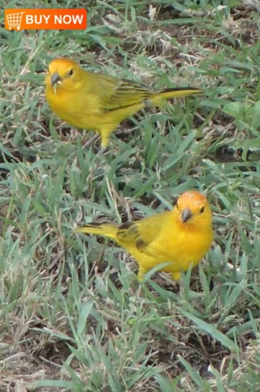 Yellow Finches 435